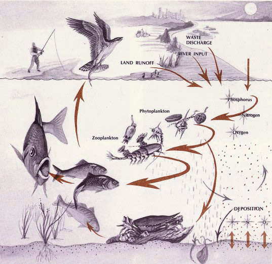 Illustration of a food web from Chesapeake Bay showing the transfer of energy from nutrients to plankton, to zooplankton to fish.