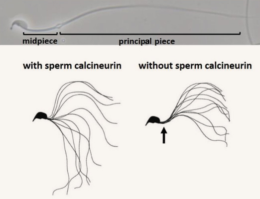 Top: microscopic image of a single spermatozoa, highlighting the midpiece and principle piece of the tail section; bottom: illustration comparing sperm with a flexible midpiece with a sperm with a rigid midpiece.