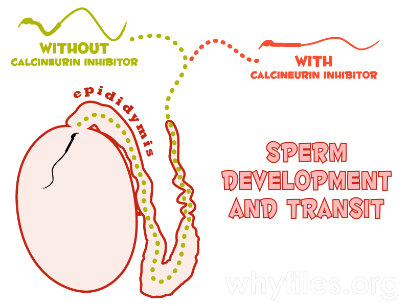 Diagram of the testis and epididymis illustrating how motility of the sperm's midpiece increases during epididymal transit, but only if the chemical calcineurin is present.