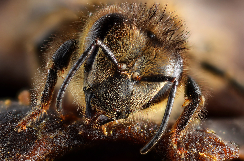 Portrait of a honeybee, antennae flared (closeup of head, antennae and front legs of honeybee).