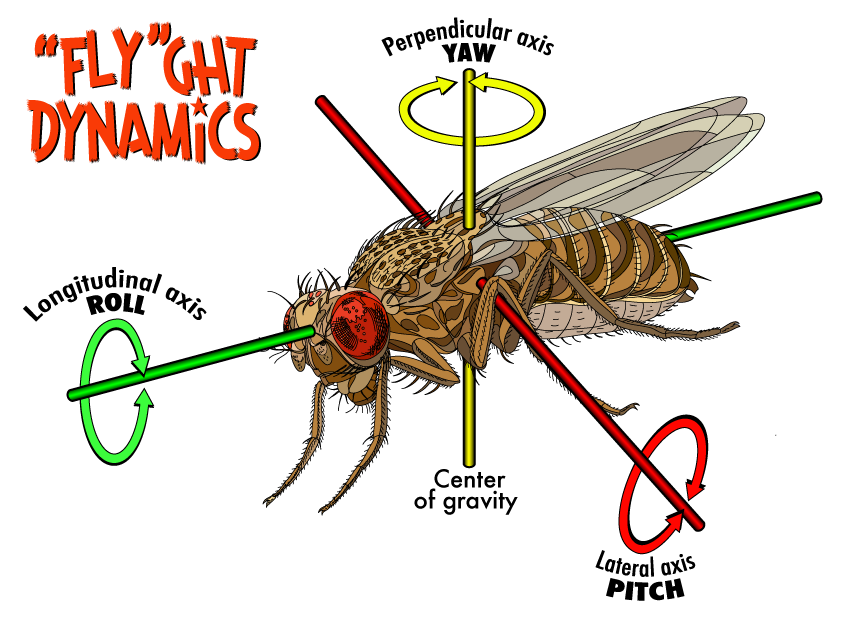 Diagram of the axes that a fruit fly, or other flying object, pivot around to control its movement, in other words pitch, yaw and roll.