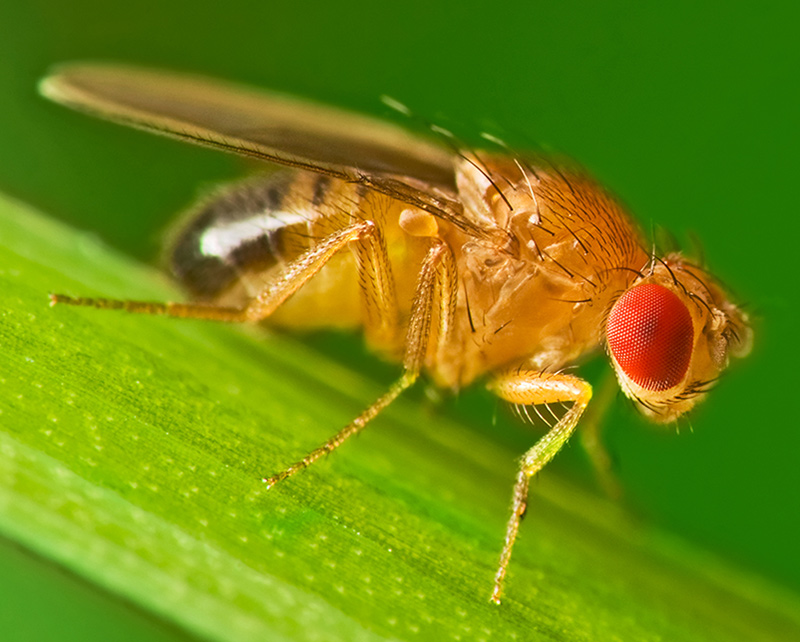 Photo of a ruby-eyed fruity fly perched on a blade of grass.