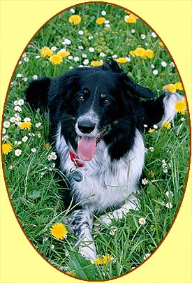 black and white border collie, amidst flowers, looks at camera, tongue out